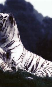 배경 화면 흰 호랑이, 휴식, 잔디, 황혼 1920x1200 HD 그림, 이미지