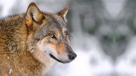 Wolf Relaxation Music