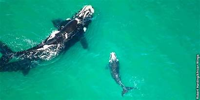 Right Whale Underwater Whales Jw Jehovah