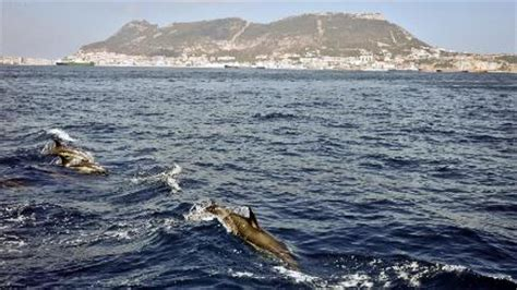 dolphins save swimmer  shark bt