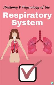Anatomy And Physiology Of The Respiratory System  Study