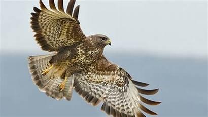 Hawk Animal Hawks Tori Mi Eyes Wallpapers