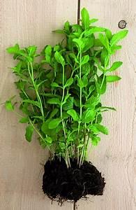 Pied De Menthe : planter menthe marie claire ~ Melissatoandfro.com Idées de Décoration
