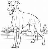 Coloring Greyhound Colorear Italian Galgo Italiano Dibujos Whippet Hunde Galgos Lebrel Perro Colouring Perros Dog Drawing Tegninger Dibujo Drawings Animales sketch template