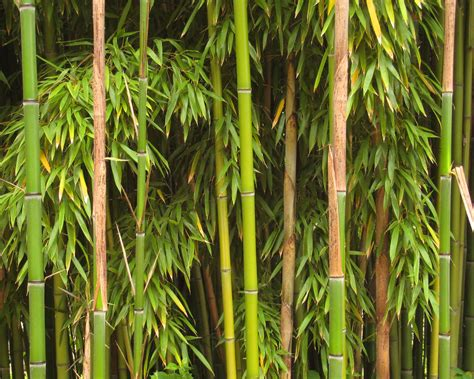 pictures of bamboo trees file bamboo richelieu jpg wikimedia commons