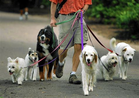 dog walk dogs walking pet pets walkers walker could laws wstale animals four today chicago sitter ct