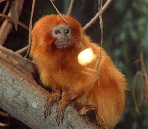 les singes  animaux anthropoides
