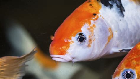 care  koi fish   aquarium animals momme