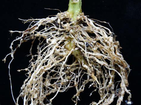 tomato solanum lycopersicon root knot nematodes flickr