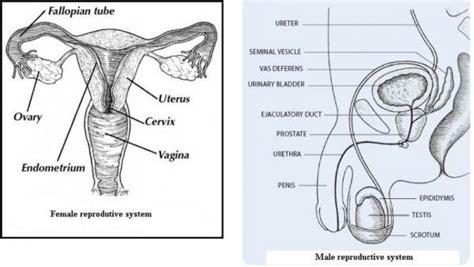 Human Reproductive Anatomy Worksheet  Human Anatomy Charts