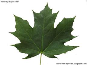 maple tree leaves the world 180 s tree species norway maple leaf