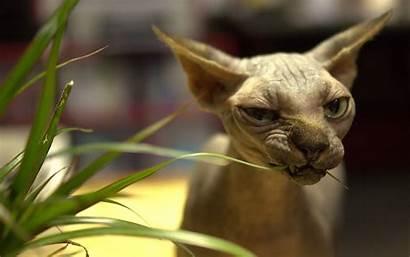 Desktop Ugly Wallpapers Smartphone Tablet Sphynx Cat