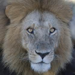 African Male Lion Face