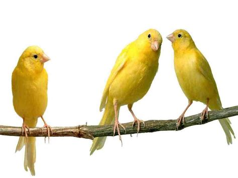 canary the utility bird turned pet fun animals wiki