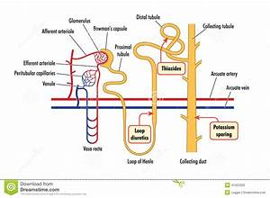 Nephron Renal Corpuscle Diagram  Nephron  Free Engine