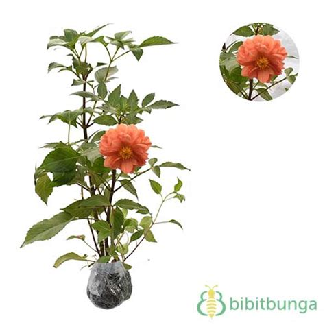tanaman dahlia mini orange white bibitbungacom