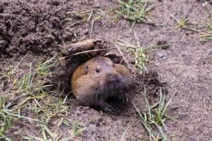Groundhog Digging Burrows