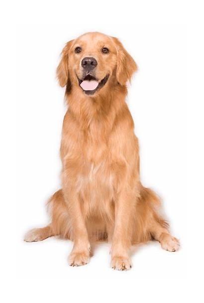 Golden Retriever Dog Animals Transparent Sitting Budo