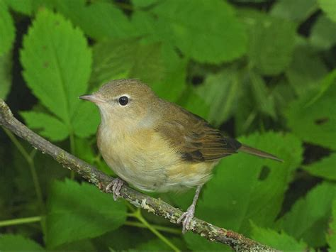 garden warbler bird facts about all