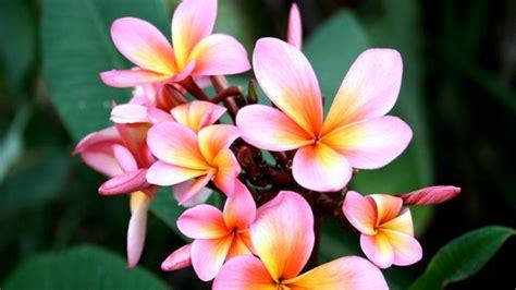 bunga kesayangan  diserang hama putih  tips mudah