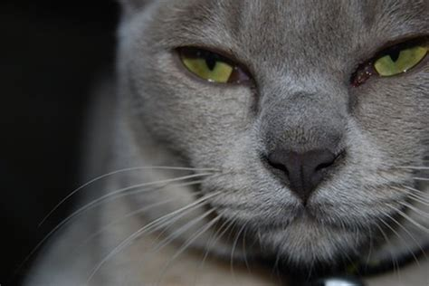 burmese cats  traits pets