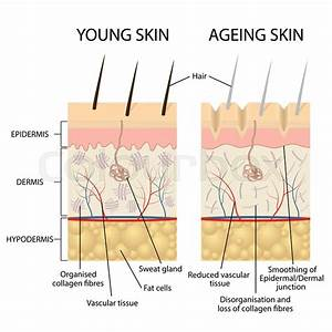 Young Healthy Skin And Older Skin Comparison  Skin Layers