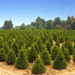 real trees for sale