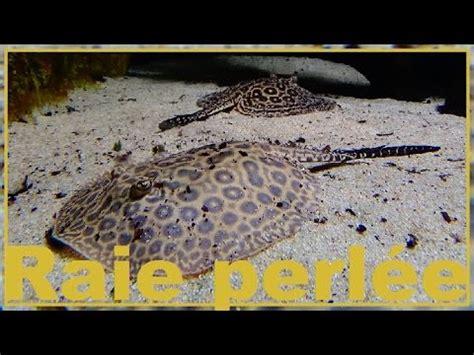 raie d eau douce aquarium potamotrygon sp quot pearl quot raie d eau douce perl 233 e aquarium porte dor 233 e 15 06 2016