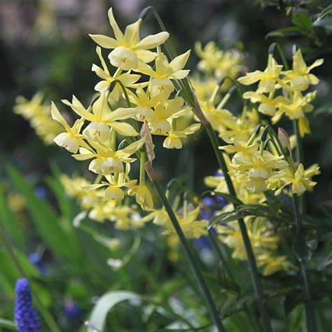 buy triandrus daffodil bulbs narcissus hawera delivery
