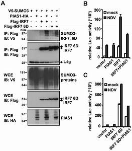 Sumoylation Of Irf7 By Pias1  A  293t Cells  1 U00d7106  Were Transfected