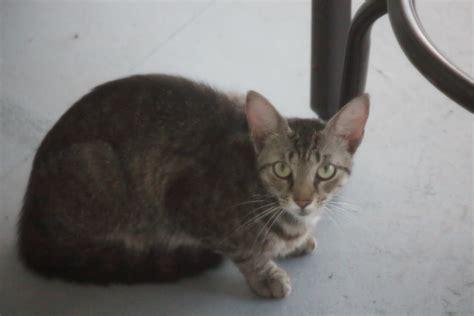 Siamese  Bad Cat Chris