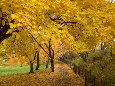 trees that turn yellow in fall il salottino in rosa ot di settembre 2013 pagina 13 ginecologia e ostetricia