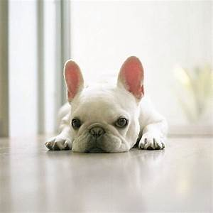 Baby White French Bulldogs | www.pixshark.com - Images ...