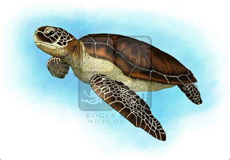 what color are the turtles green sea turtle chelonia mydas line and color
