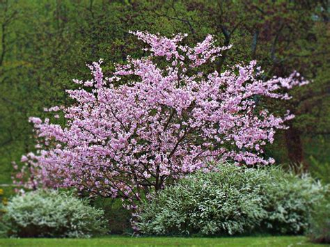 arbusti da fiore sempreverdi arbusti da giardino variet 224 caratteristiche e