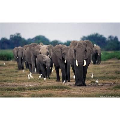 zoo22: African Elephant