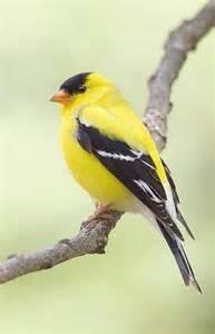 American Goldfinch Yellow Bird