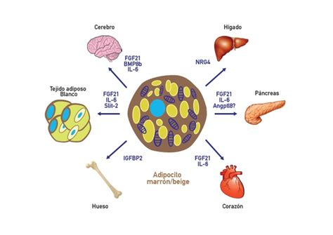 brown adipose tissue    secrete factors