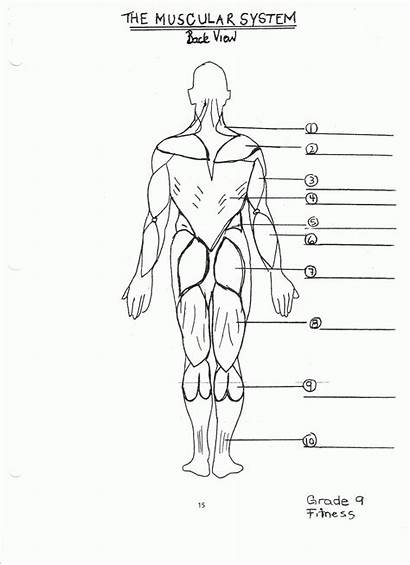 Muscular Diagram Muscle System Worksheet Unlabeled Muscles