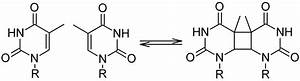 Formation And Repair Of Cyclobutane Pyrimidine Dimers