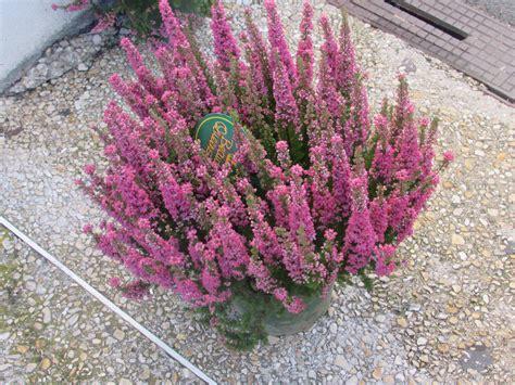 plantes d hiver langlet fleurs provins seine et