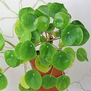 Pflege Von Zimmerpflanzen : ufopflanze pilea peperomioides ~ Markanthonyermac.com Haus und Dekorationen