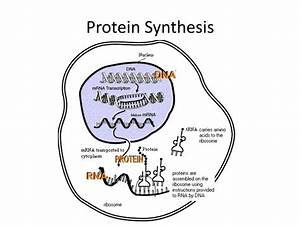 Ppt - Protein Synthesis Powerpoint Presentation