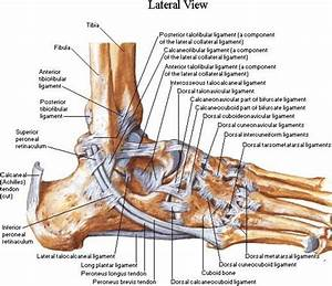 Lateral Aspect Of The Ankle Ligaments