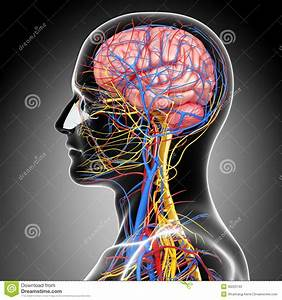 Circulatory And Nervous System Of Head Stock Illustration