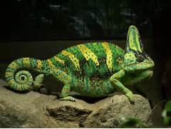 Chameleon Hindi
