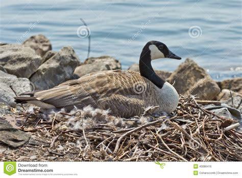 canada goose sitting  nest stock photo image
