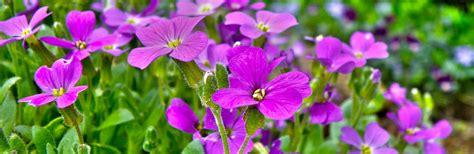 wallflowers erysimum lovethegarden care plant header