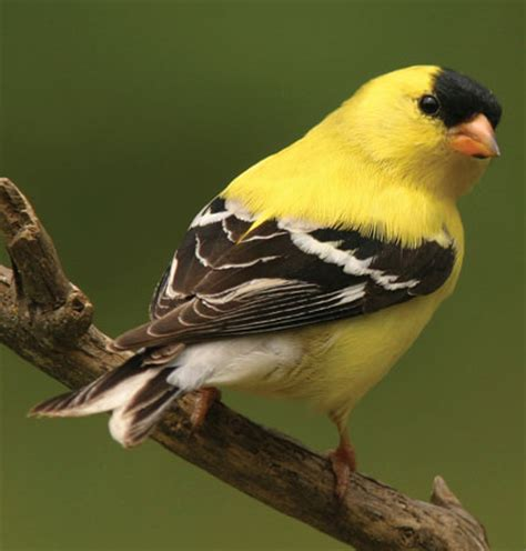 american goldfinch aspen song wild bird food