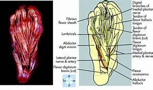 Foot Anatomy Plantar - Human Anatomy Diagram